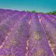 Blooming Bright Purple Lavender Flowers In Provence, France. Summer Season - PhotoDune Item for Sale