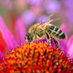 Bee collecting nectar in an echinacea flower blossom - PhotoDune Item for Sale