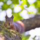 squirrel on branch - PhotoDune Item for Sale