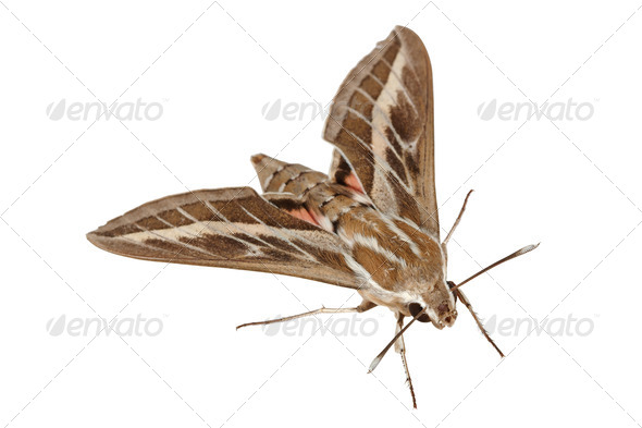 Bedstraw Hawk-Moth or Gallium Sphinx (Lat. Hyles gallii) isolate - Stock Photo - Images