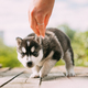 Four-week-old Husky Puppy Of White-gray-black Color Is Ready To Eat From Hands Of Owner - PhotoDune Item for Sale