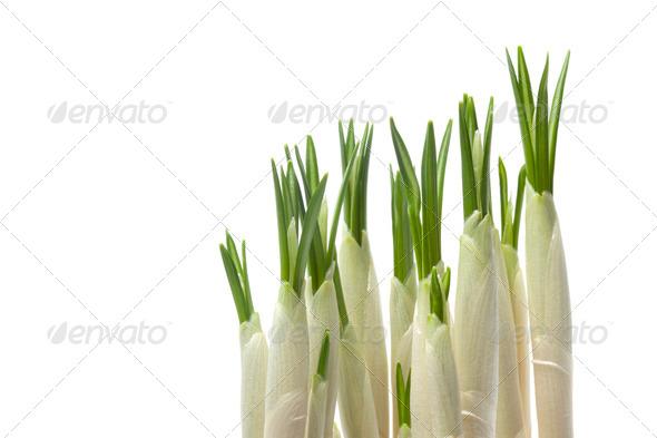 Expanding crocus bulbs - Stock Photo - Images