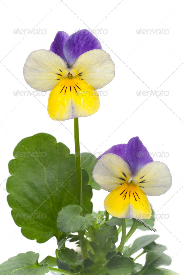 Viola cornuta flowers - Stock Photo - Images