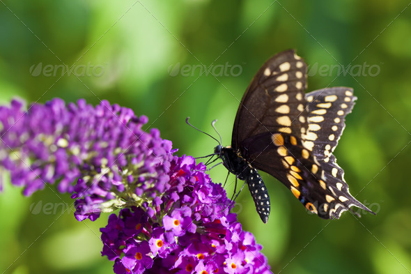 Black Swallowtail Butterfly - Stock Photo - Images