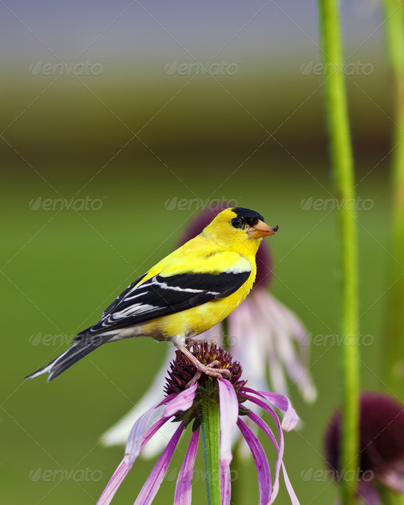 Wild Canary Bird - Stock Photo - Images