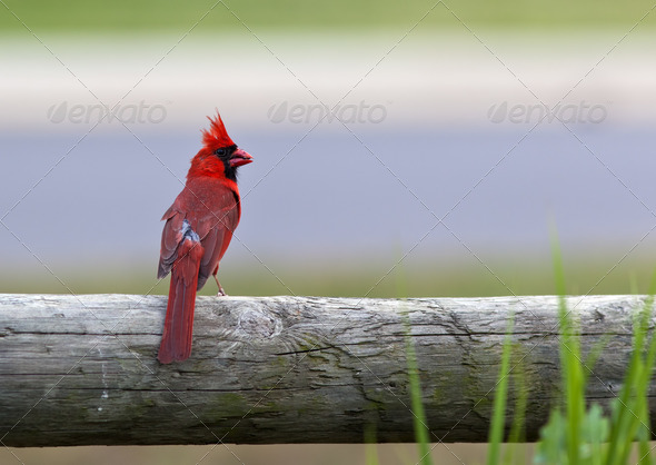 Cardinal Bird - Stock Photo - Images