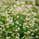 Young Fagopyrum Flowering plant in Summer Day. Close up. Green manure From Family Polygonaceae - PhotoDune Item for Sale