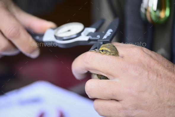 Capture of wild bird after leg identification ringing and body measurements for migration research. - Stock Photo - Images