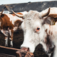 Cows on the form. Milk, meat production. Household animals - PhotoDune Item for Sale
