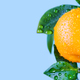 Fresh orange citrus mandarin fruit branch with water drops on green leaves. - PhotoDune Item for Sale