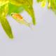 The weekly fry of the barbus fish swim upside down. Macro view young Pethia Conchonius. - PhotoDune Item for Sale