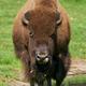 American bison (Bison bison) - PhotoDune Item for Sale