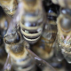 Close-Up Of A Beehive Entry With Lots Of Busy Bees 5 - VideoHive Item for Sale