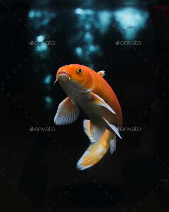Koi Fish - Stock Photo - Images
