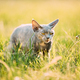 Funny Sly Young Gray Devon Rex Kitten Sitting In Green Grass. Short-haired Cat Of English Breed - PhotoDune Item for Sale
