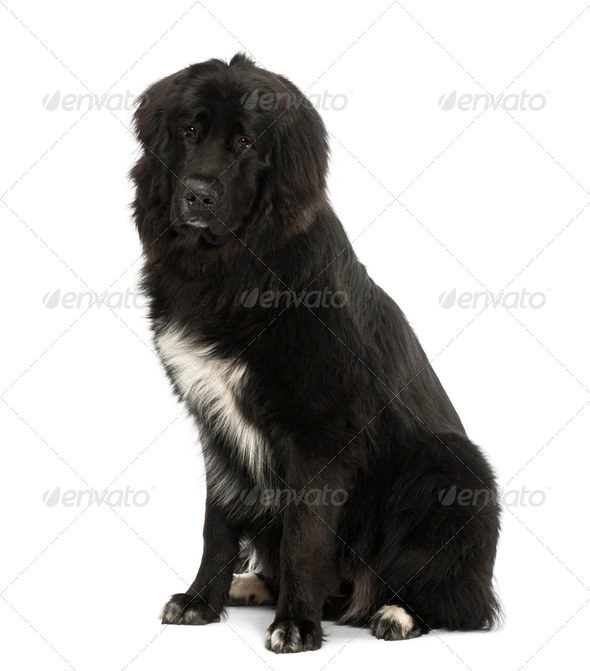Bastard dog, 9 months old, sitting against white background - Stock Photo - Images
