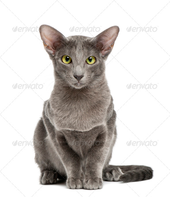 Oriental Shorthair, portrait against white background - Stock Photo - Images