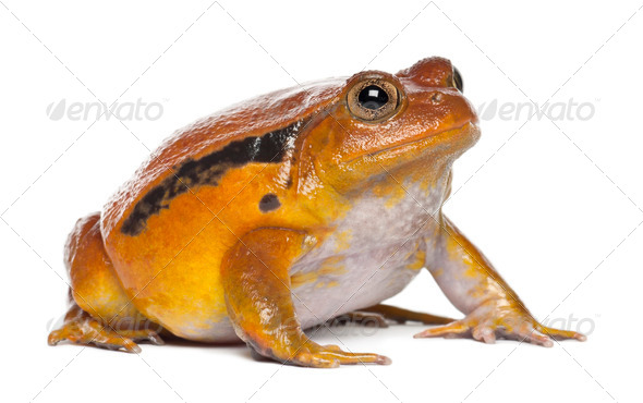 False Tomato Frog, Dyscophus guineti, against white background - Stock Photo - Images