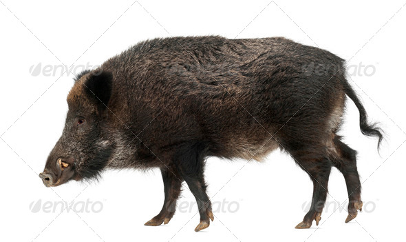 Wild boar, also wild pig, Sus scrofa, 15 years old, against white background - Stock Photo - Images