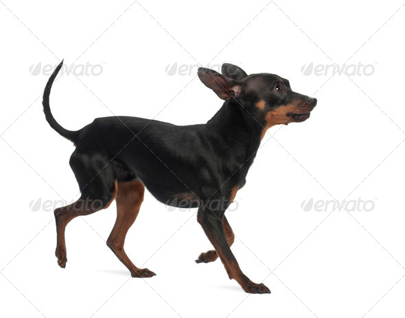 Miniature Pinscher, 10 months old, against white background - Stock Photo - Images