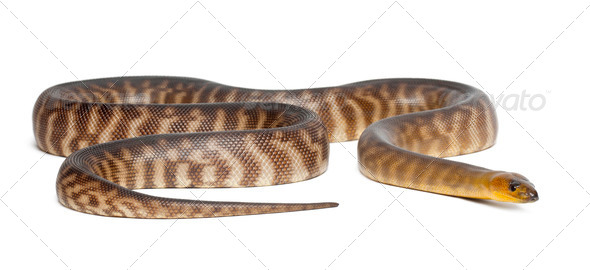 Python, Aspidites ramsayi, against white background - Stock Photo - Images