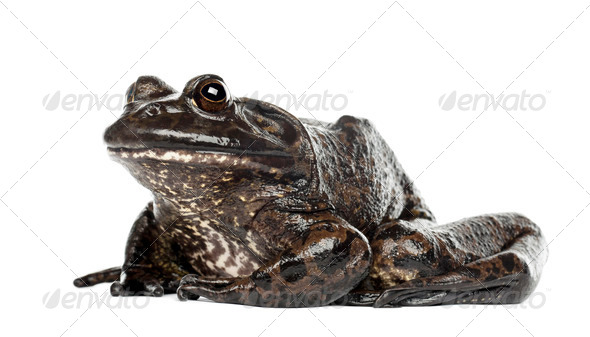 American bullfrog or bullfrog, Rana catesbeiana, against white background - Stock Photo - Images