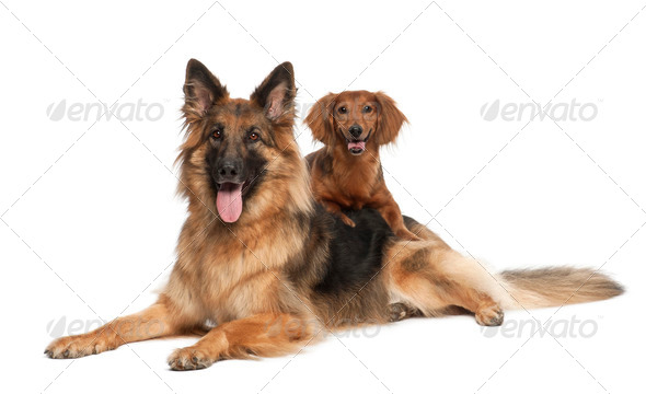 Dachshund, 9 years old, German Shepherd Dog, 3 years old, portrait against white background - Stock Photo - Images