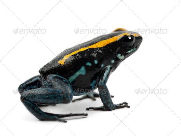 Golfodulcean Poison Frog, Phyllobates vittatus, against white background - Stock Photo - Images