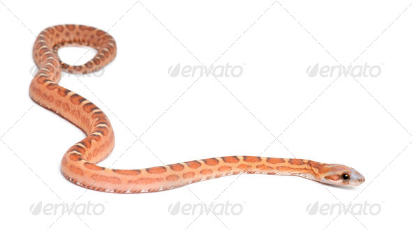Scaleless Corn Snake, Pantherophis guttatus guttatus, against white background - Stock Photo - Images