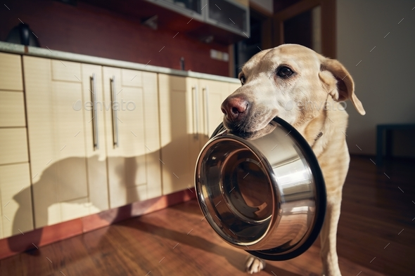 Hungry dog holding bowl and waiting for feeding - Stock Photo - Images