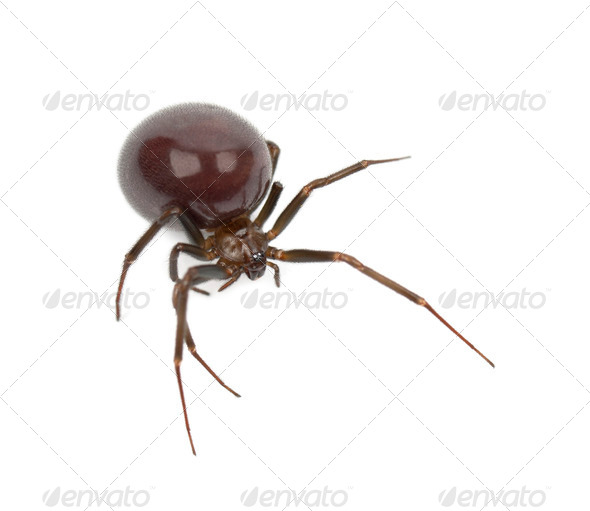 Common House Spider, Parasteatoda tepidariorum, against white background - Stock Photo - Images