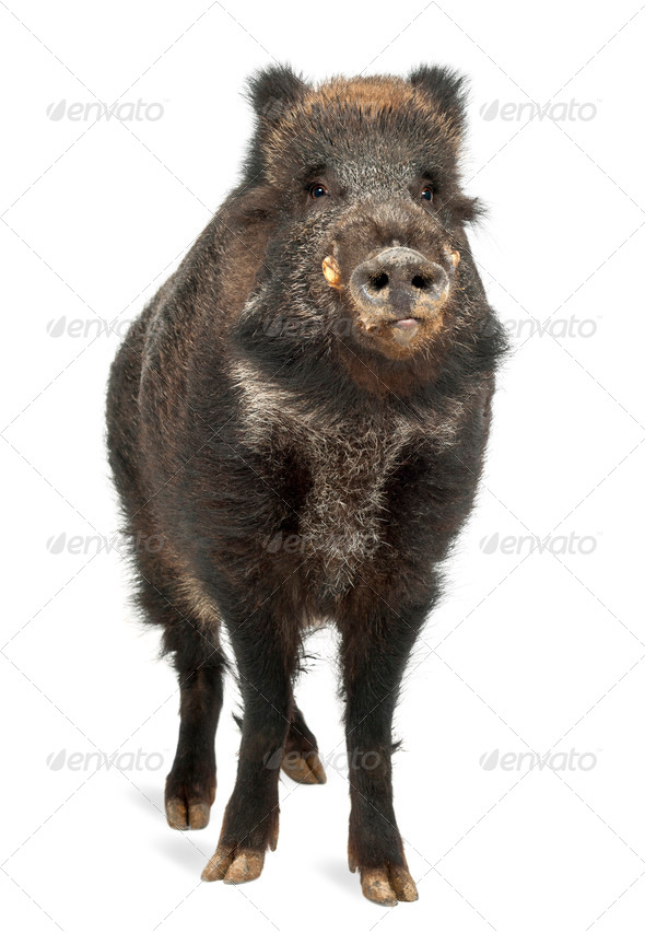 Wild boar, also wild pig, Sus scrofa, 15 years old, portrait standing against white background - Stock Photo - Images