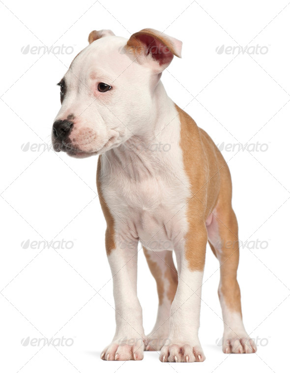 American Staffordshire Terrier puppy, 2 months old, standing against white background - Stock Photo - Images