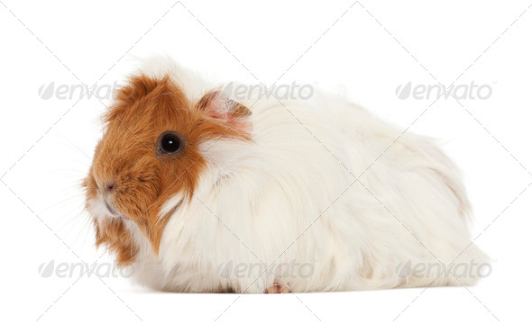Guinea pig against white background - Stock Photo - Images