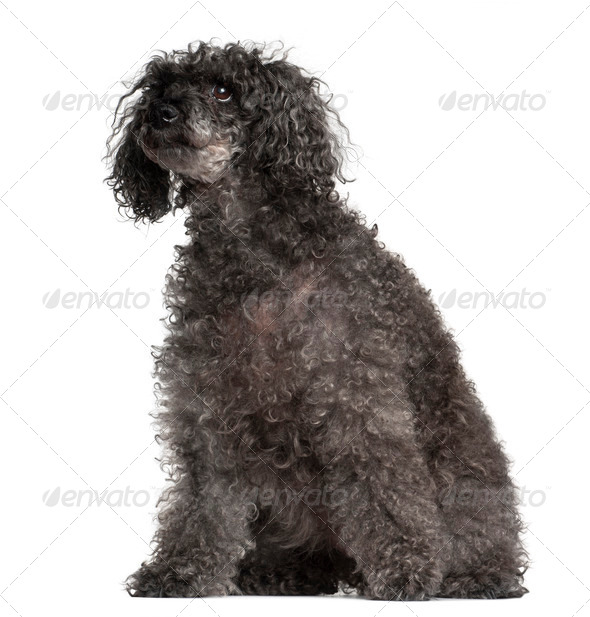 Old Poodle, 16 years old, sitting against white background - Stock Photo - Images
