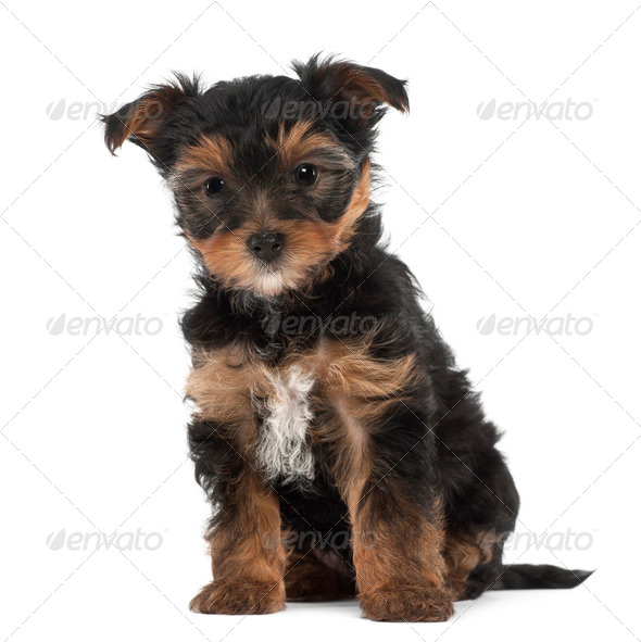 Yorkshire Terrier puppy, 7 weeks old, sitting against white background - Stock Photo - Images