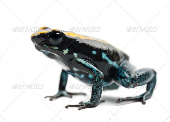 Golfodulcean Poison Frog, Phyllobates vittatus, portrait against white background - Stock Photo - Images