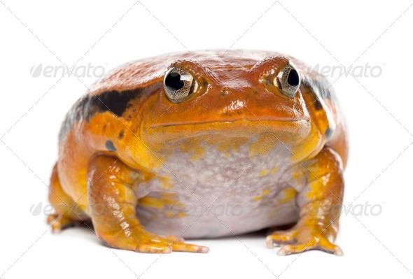 False Tomato Frog, Dyscophus guineti, portrait against white background - Stock Photo - Images