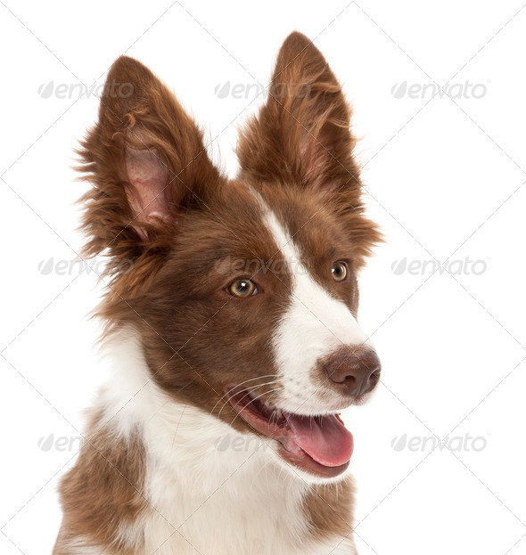 Border Collie puppy, 5 months old, against white background - Stock Photo - Images