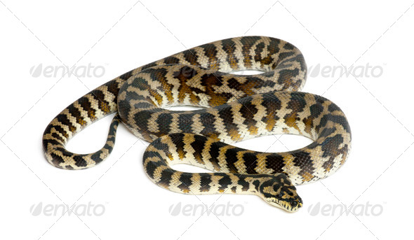 Python, Morelia spilota variegata, black and yellow, against white background - Stock Photo - Images