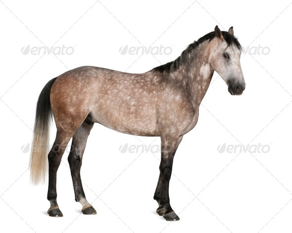 Belgian Warmblood horse, 6 years old, standing against white background - Stock Photo - Images