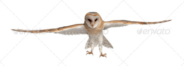 Barn Owl, Tyto alba, 4 months old, portrait flying against white background - Stock Photo - Images