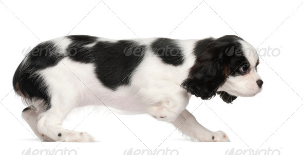 Cavalier King Charles Spaniel puppy, 3 months old, against white background - Stock Photo - Images