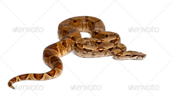 Common Northern Boa, Boa constrictor imperator, against white background - Stock Photo - Images