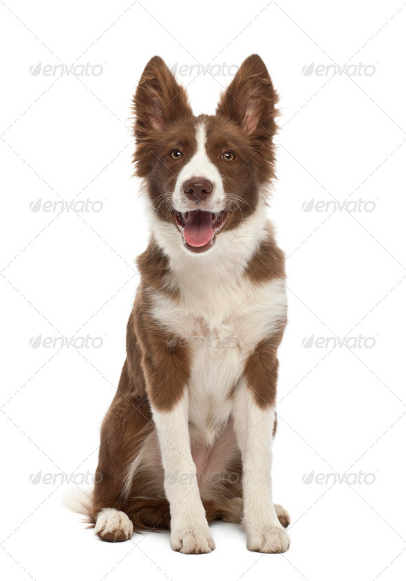 Border Collie puppy, 5 months old, sitting against white background - Stock Photo - Images