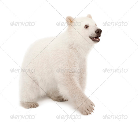Polar bear cub, Ursus maritimus, 6 months old, standing against white background - Stock Photo - Images