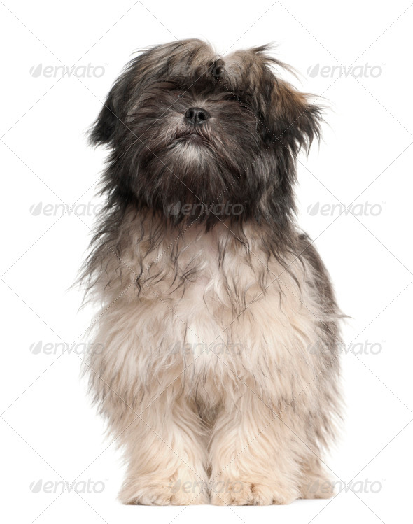 Lhasa apso standing against white background - Stock Photo - Images