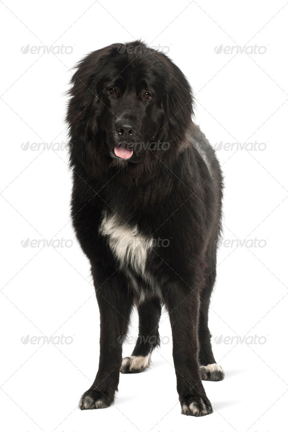 Bastard dog, 9 months old, portrait against white background - Stock Photo - Images