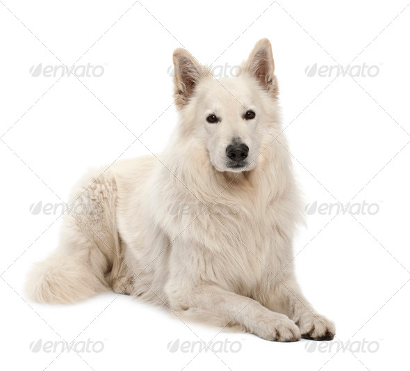 Berger Blanc Suisse, 5 years old, portrait against white background - Stock Photo - Images