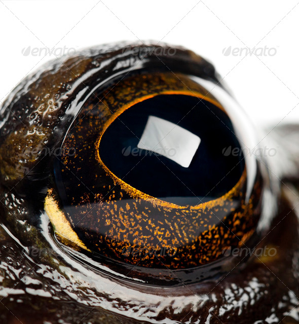 American bullfrog or bullfrog, Rana catesbeiana, portrait and close up against white background - Stock Photo - Images